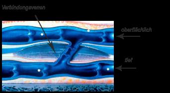 Venensystem Aufbau